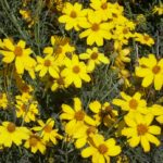 Flowers Can Help Control Pests