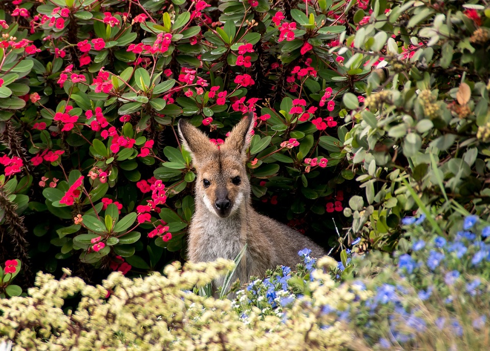wallaby in front of flower bushes
